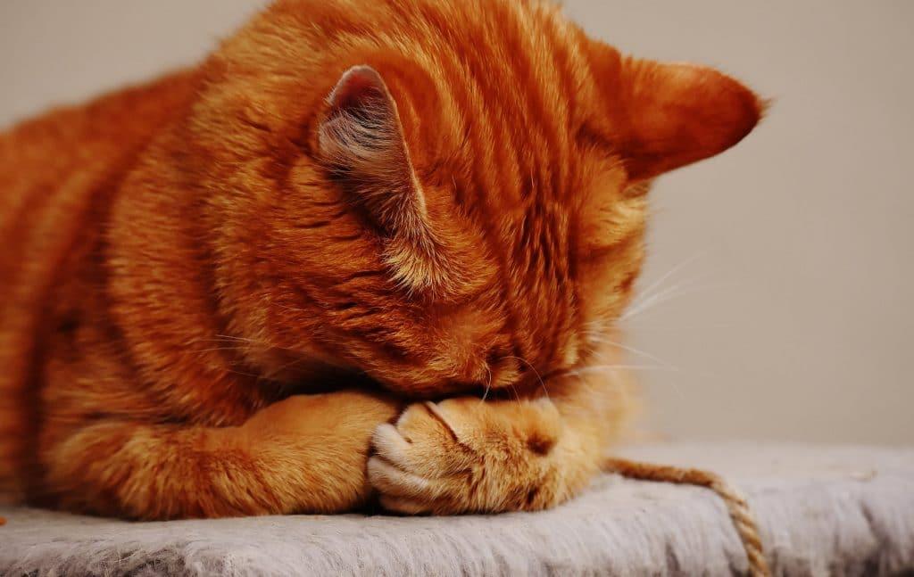 Quali sono le intolleranze alimentari dei gatti?